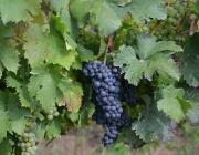 winobranie-2013-381
