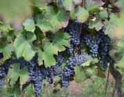 winobranie-2013-383
